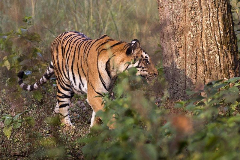 large_Tiger_10.jpg