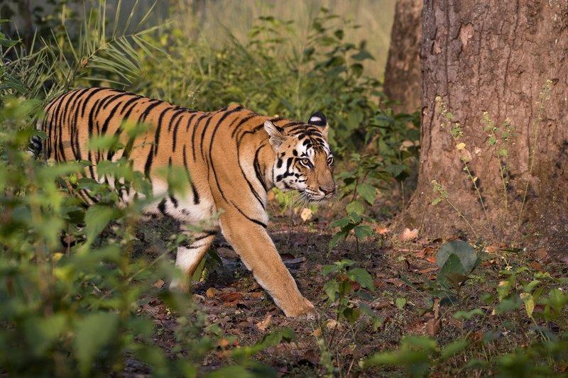 large_Tiger_11.jpg