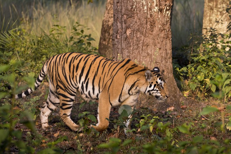 large_Tiger_14.jpg