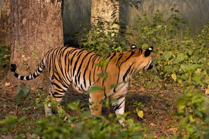 large_Tiger_15.jpg