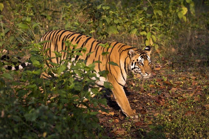 large_Tiger_17.jpg