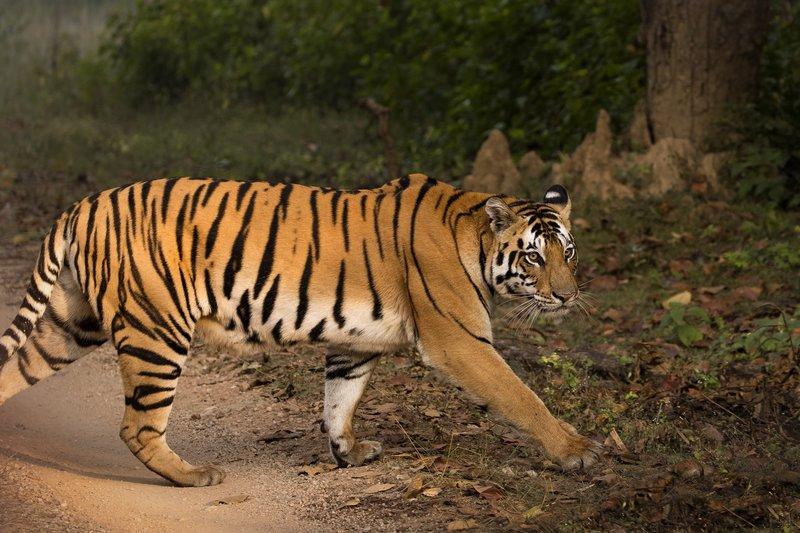 large_Tiger_18.jpg