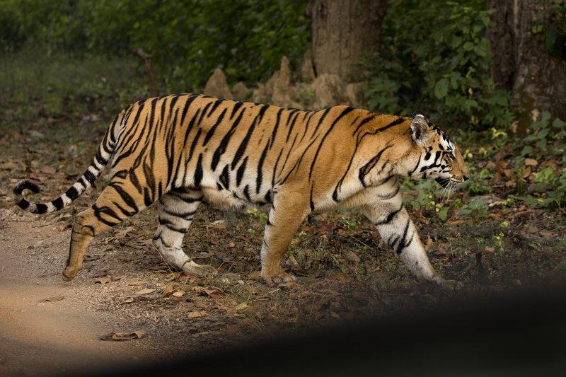 large_Tiger_19.jpg