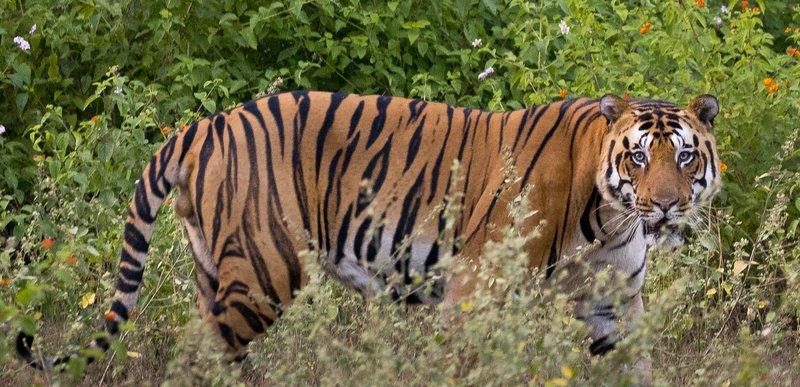 large_Tiger_201.jpg