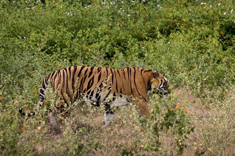 large_Tiger_202.jpg