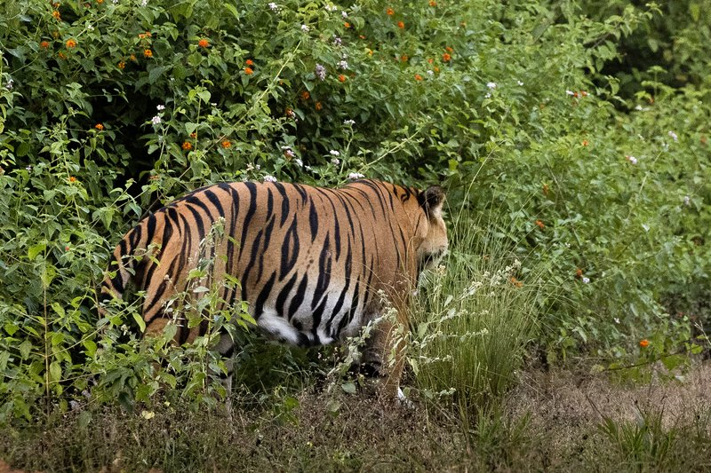 large_Tiger_206.jpg