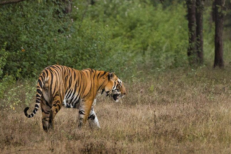large_Tiger_209.jpg