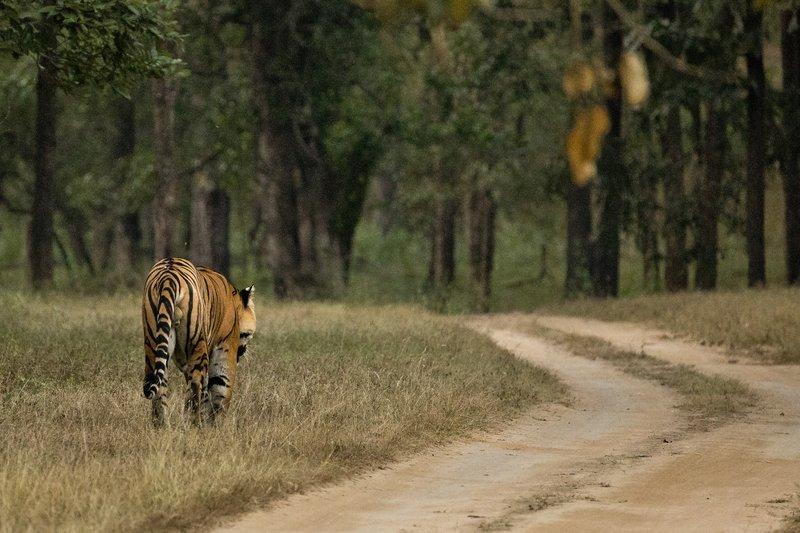 large_Tiger_210.jpg