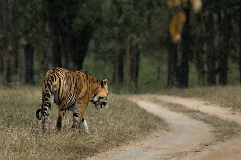 large_Tiger_211.jpg