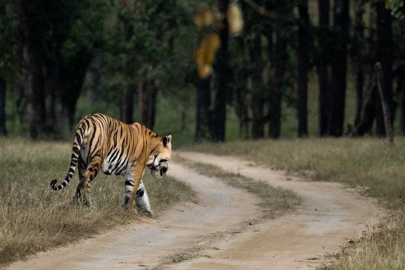 large_Tiger_212.jpg