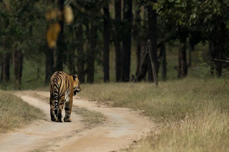 large_Tiger_214.jpg