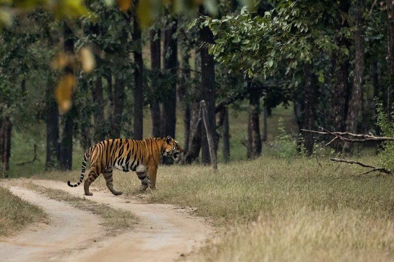 large_Tiger_216.jpg