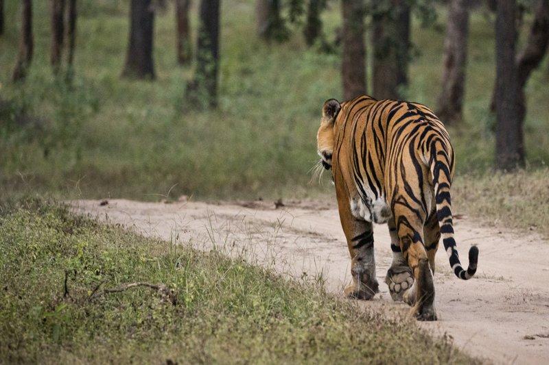 large_Tiger_219.jpg