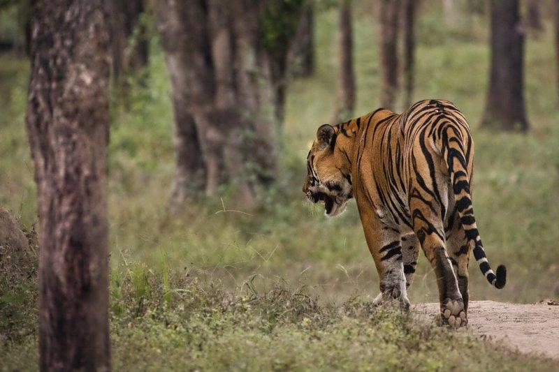 large_Tiger_220.jpg