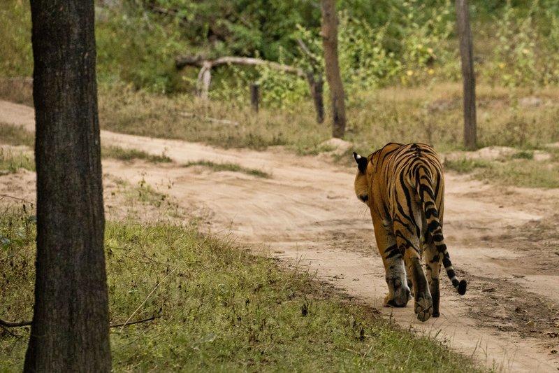 large_Tiger_221.jpg
