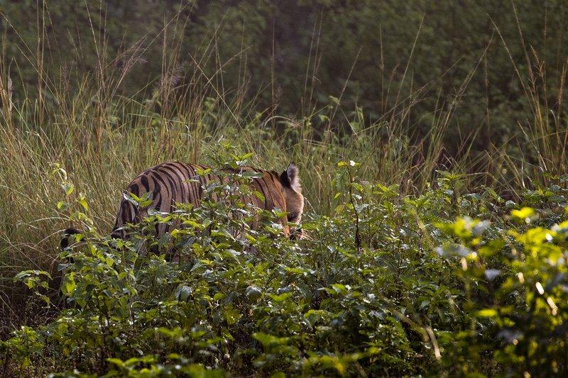 large_Tiger_301.jpg