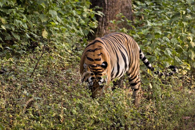 large_Tiger_302.jpg