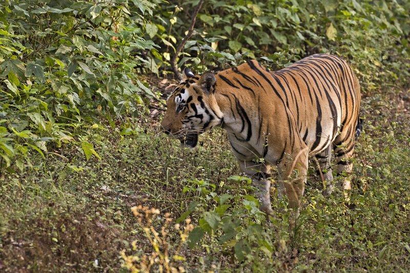 large_Tiger_303.jpg