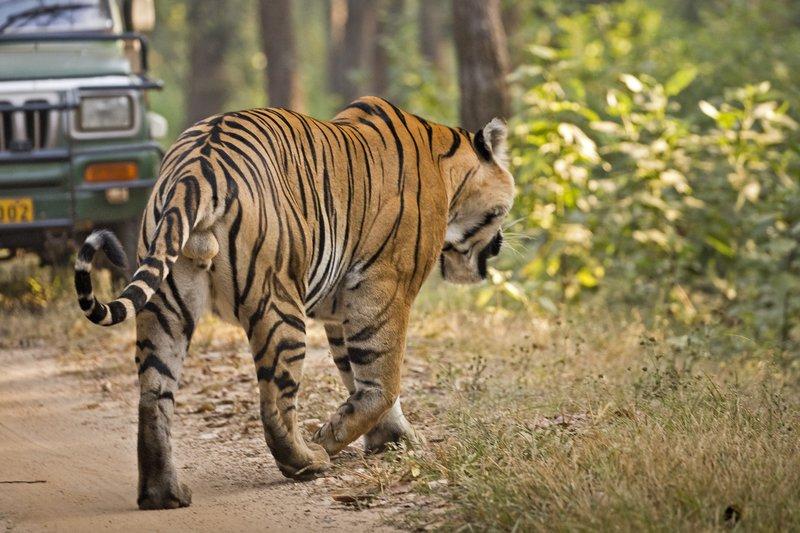 large_Tiger_306.jpg