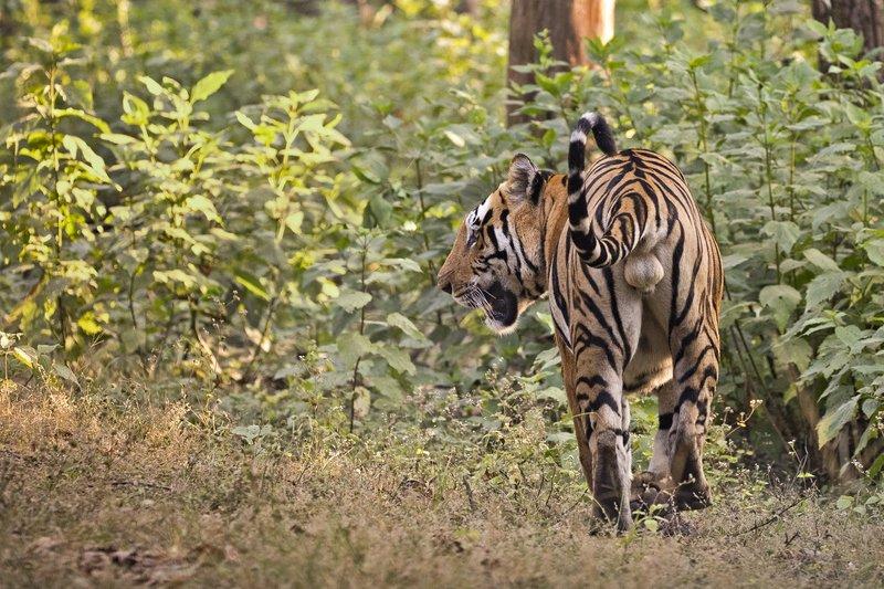 large_Tiger_307.jpg