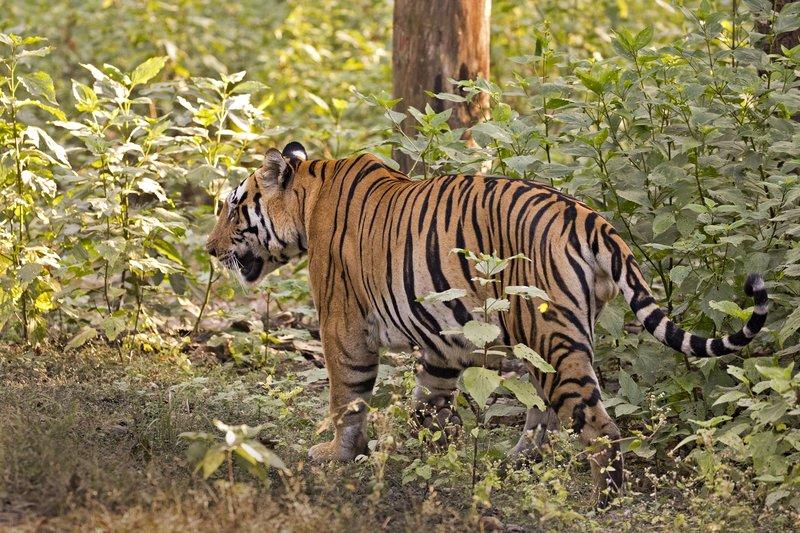 large_Tiger_308.jpg