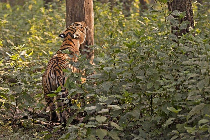 large_Tiger_309.jpg