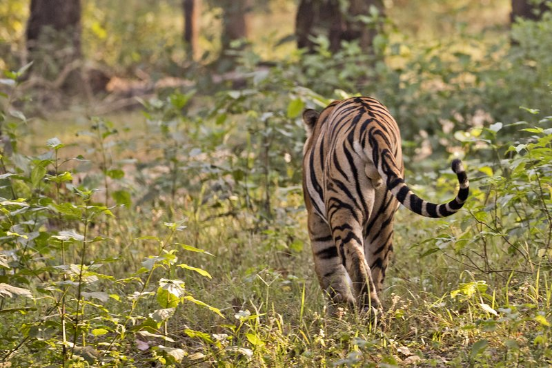 large_Tiger_310.jpg