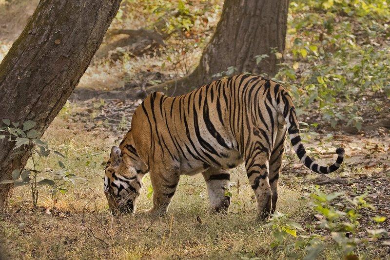 large_Tiger_311.jpg