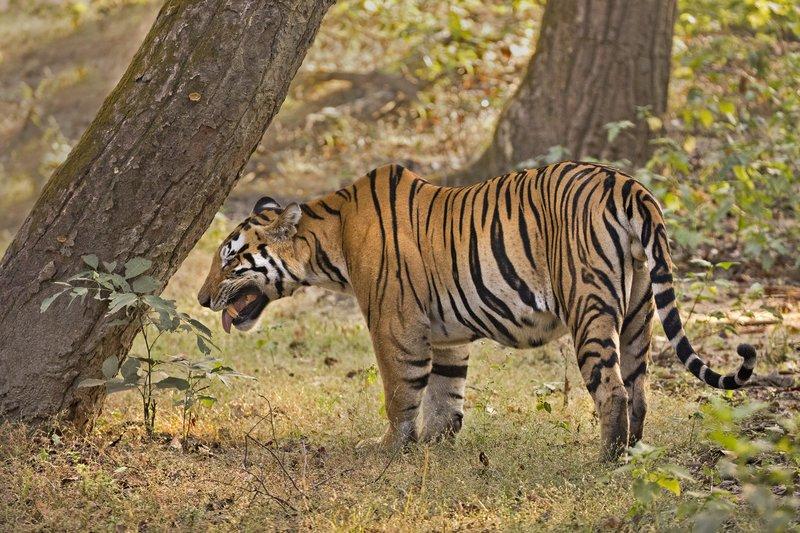 large_Tiger_312.jpg