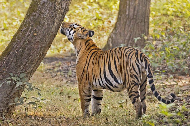 large_Tiger_313.jpg