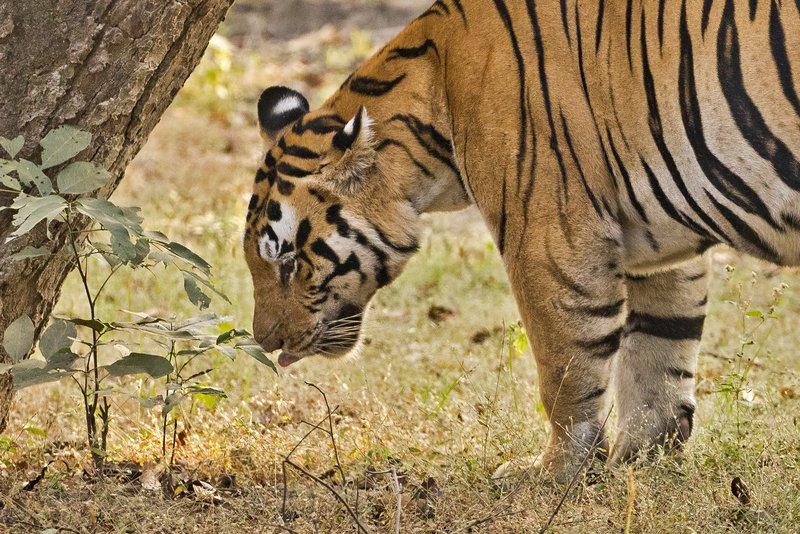 large_Tiger_314.jpg