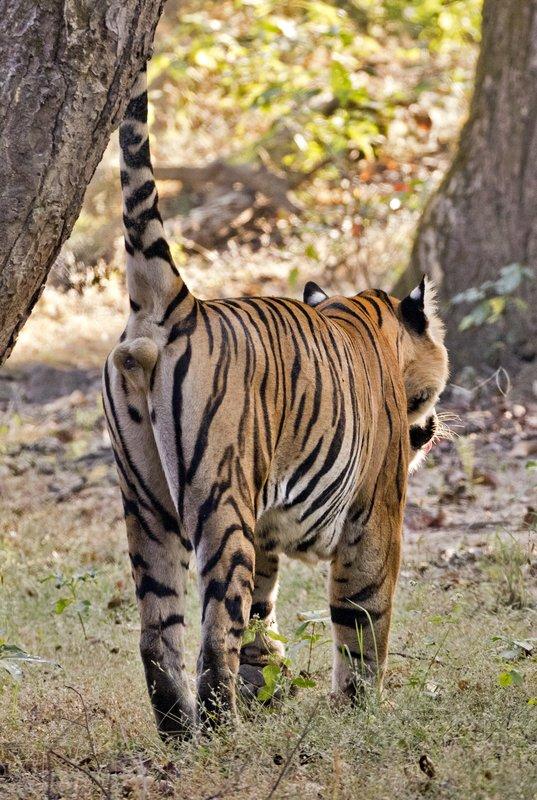 large_Tiger_319.jpg