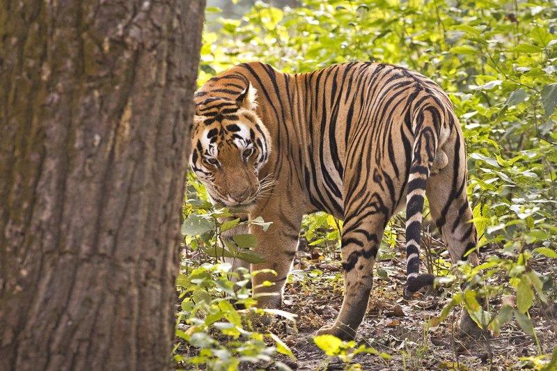 large_Tiger_320.jpg