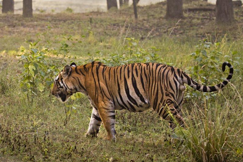 large_Tiger_321.jpg