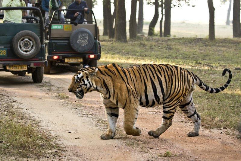 large_Tiger_323.jpg