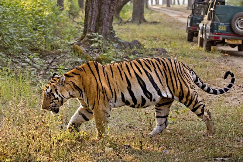 large_Tiger_324.jpg