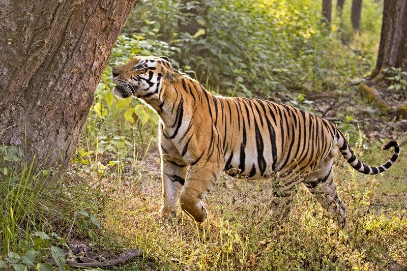 large_Tiger_325.jpg