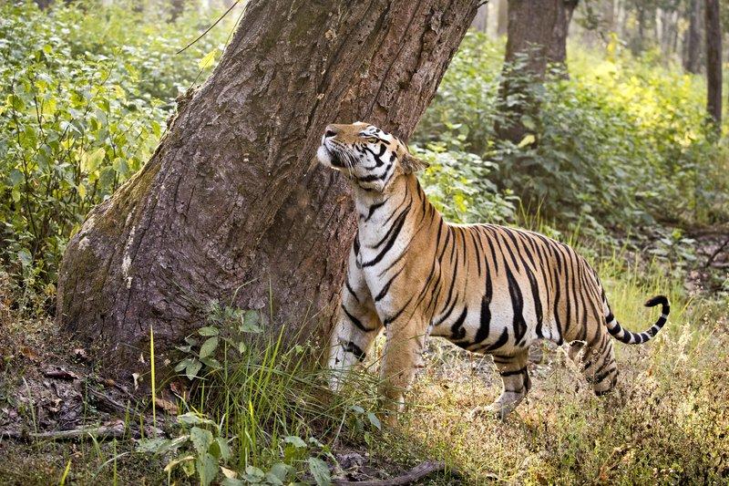 large_Tiger_327.jpg