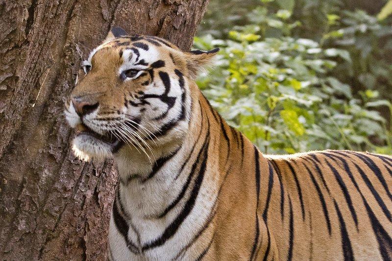 large_Tiger_328.jpg