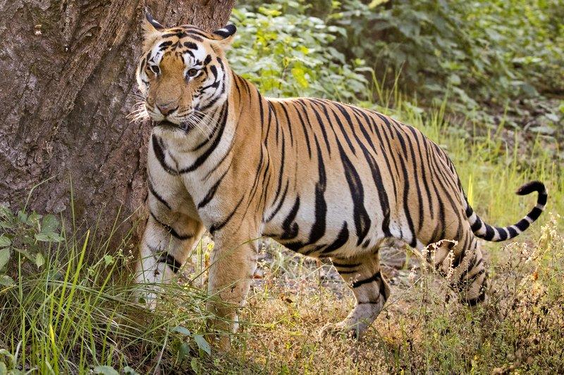 large_Tiger_329.jpg