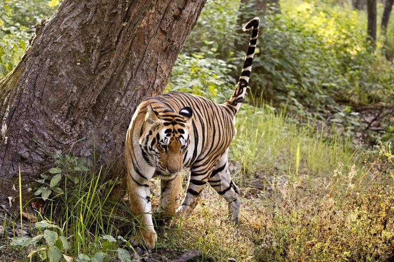 large_Tiger_330.jpg