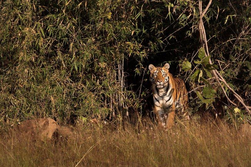 large_Tiger_71A.jpg