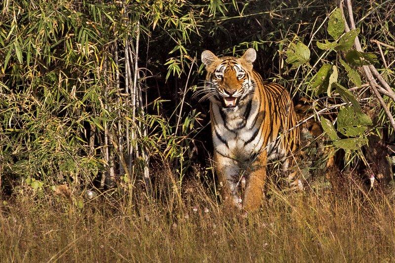 large_Tiger_72.jpg