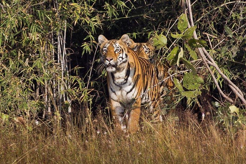 large_Tiger_73.jpg