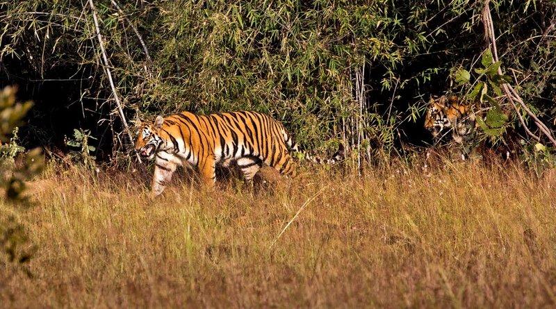 large_Tiger_76A.jpg