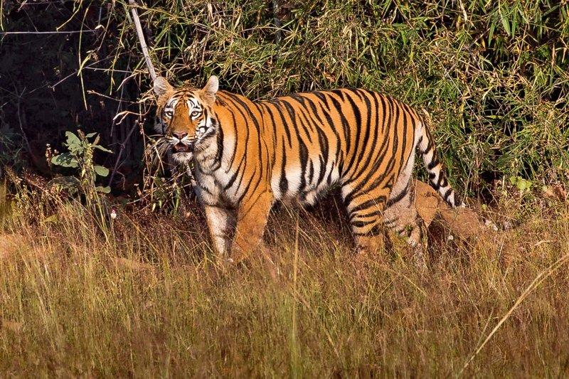 large_Tiger_77A.jpg