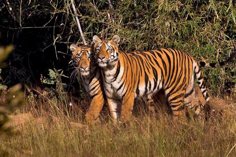 large_Tiger_81A.jpg