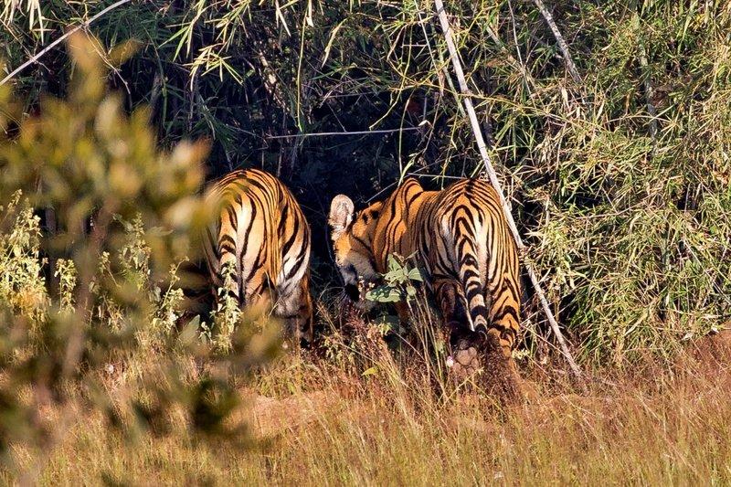 large_Tiger_89A.jpg