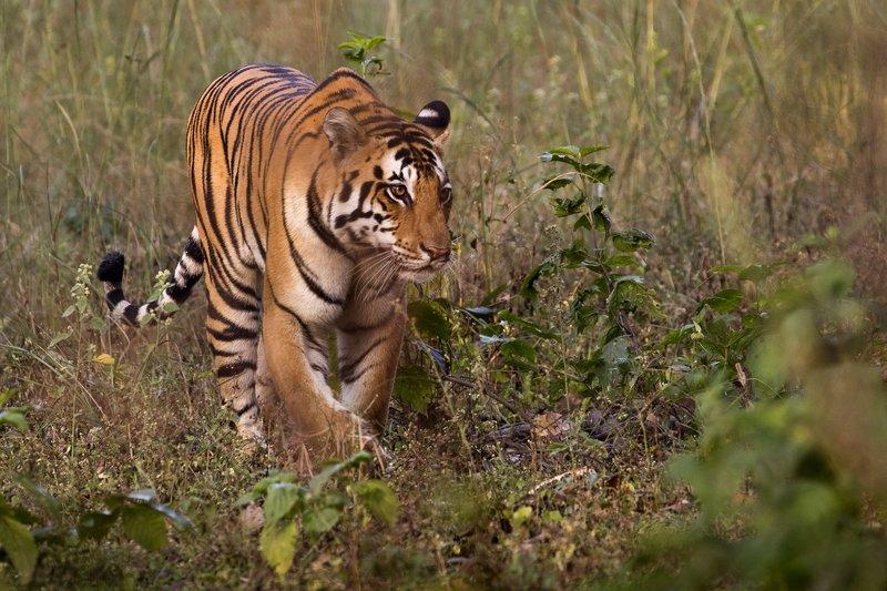 large_Tiger_9.jpg