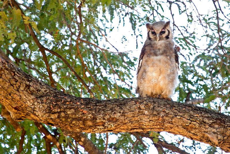 large_Verreaux_Eagle_Owl_1.jpg